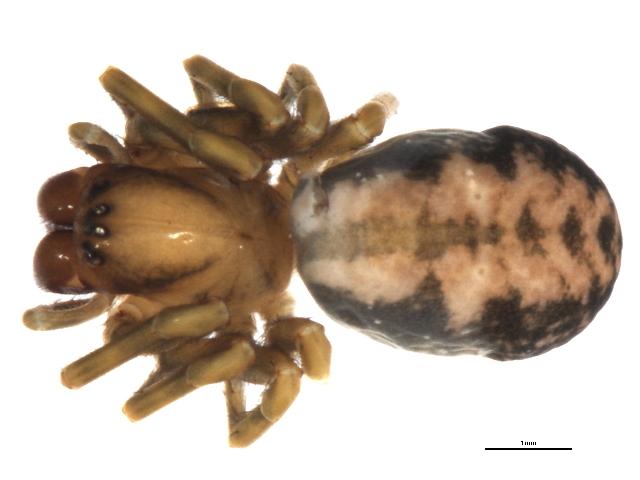 Image of <i>Callobius bennetti</i> (Blackwall 1846)