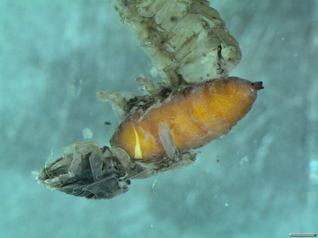 Image of woodlouse flies