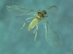 Image of <i>Conwentzia psociformis</i> (Curtis 1834)
