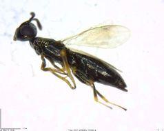 Image of <i>Brasema allynii</i>