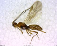 Image of <i>Hormius moniliatus</i> (Nees 1811)