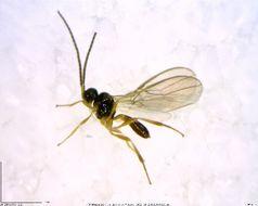 Image of Dinotrema