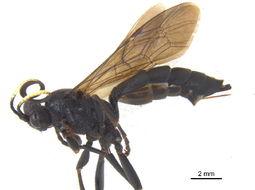 Image of <i>Ichneumon macilentus</i> (Tischbein 1881)