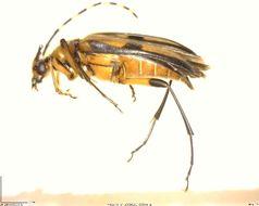 Image of <i>Pedostrangalia subhamata</i>