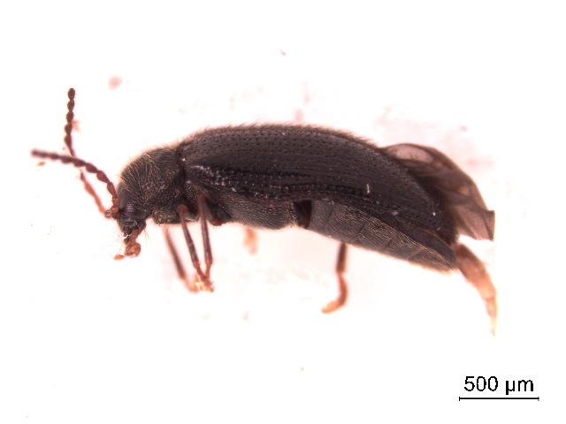 Image of <i>Eurypogon harrisii</i> (Westwood 1862)