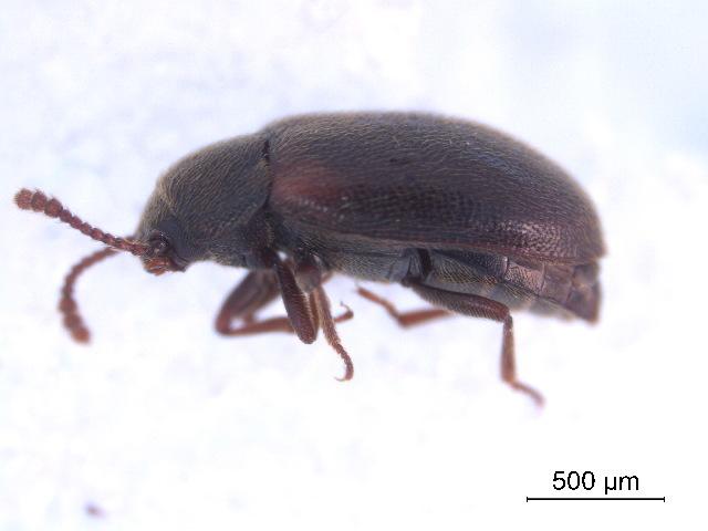 Image of <i>Pisenus humeralis</i> (Kirby 1837)