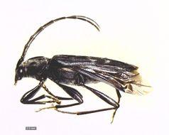 Image of <i>Sarosesthes fulminans</i> (Fabricius 1775)