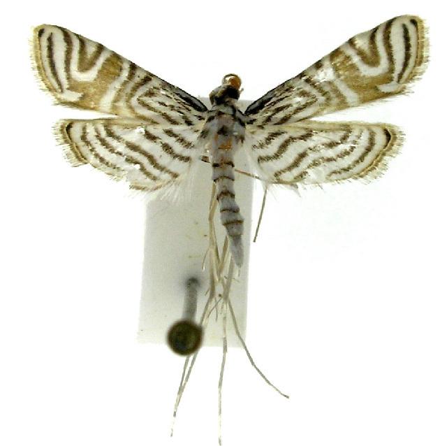 Image of Aulacodes