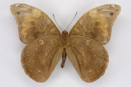 Image of <i>Selenophanes josephus</i> Godman & Salvin 1881