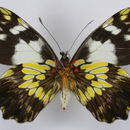 Image of Leodonta