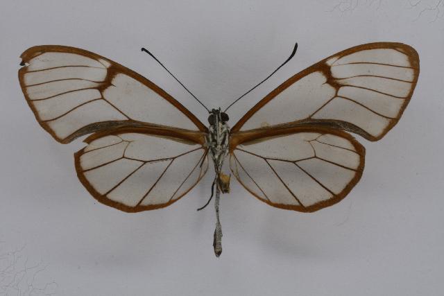 Image of <i>Pteronymia artena</i> Hewitson 1854