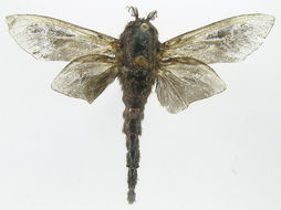 Image of Psychinae