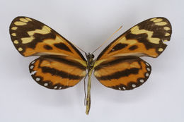 Image of Hypothyris