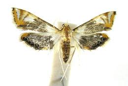 Image of Argyractoides