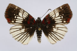 Image of Haemactis