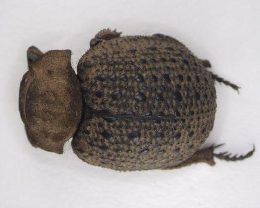 Image of <i>Polynoncus hemisphaericus</i> (Burmeister 1876)