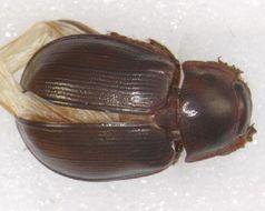 Image of <i>Phaeochrous emarginatus</i> Castelnau 1840
