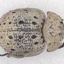 Image of <i>Polynoncus haafi</i> (Vaurie 1962)