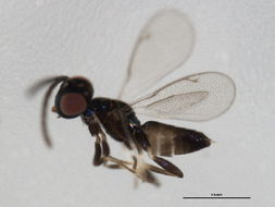 Image of eupelmid wasps
