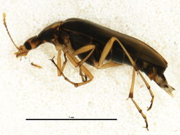 Image of <i>Cephaloon lepturoides</i> Newman 1838