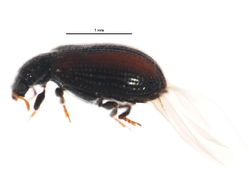 Image of tooth-necked fungus beetle
