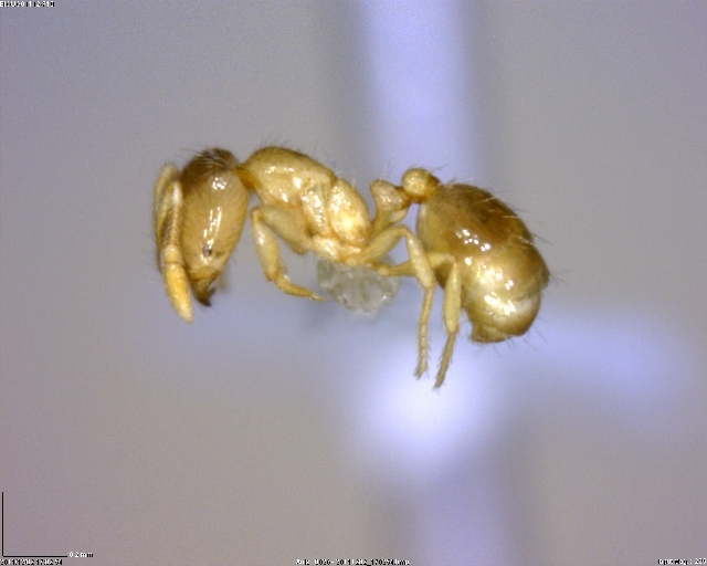 Image of Thief Ant