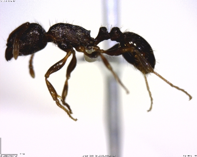 Image of Pavement ant