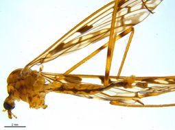 Image of <i><i>Metalimnobia</i></i> (Metalimnobia) <i>cinctipes</i> (Say 1823)