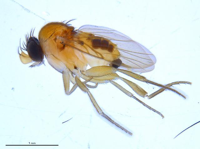 Image of <i>Apocephalus pergandei</i> Coquillett 1901