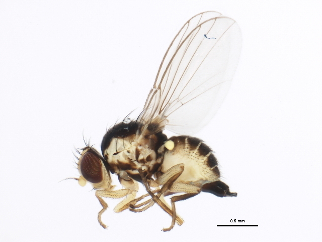 Image of <i>Liriomyza asclepiadis</i> Spencer 1969