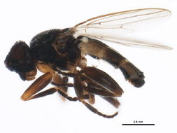 Image of <i>Ischiolepta pusilla</i> (Fallen 1820)