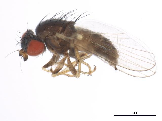 Image of Chamaemyia