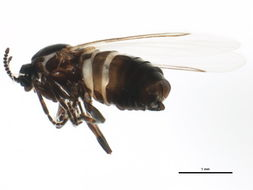 Image of Scatopsinae