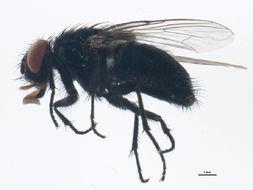 Image of <i>Muscina pascuorum</i> (Meigen 1826)