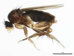 Image of <i>Anevrina thoracica</i> (Meigen 1804)
