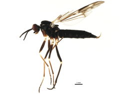 Image of <i>Xylophagus reflectens</i> Walker 1848