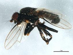 Image of Lotophila