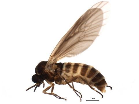 Image of <i>Axymyia furcata</i> Mc Atee 1921