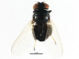 Image of Lonchaeinae