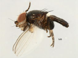 Image of <i>Leptometopa latipes</i> (Meigen 1830)