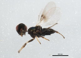 Image of Parasitoid wasp