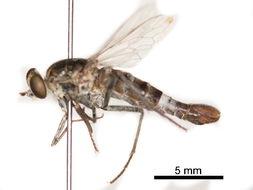 Image of Apiocera