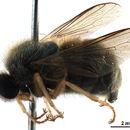 Image of Acrocerinae
