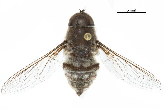 Image of tangle-veined flies