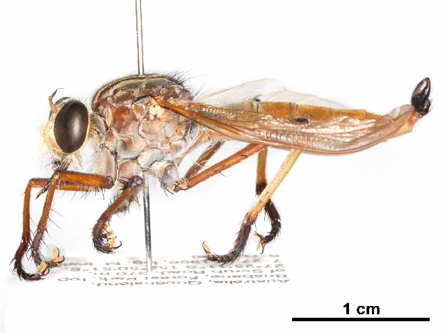 Image of Colepia