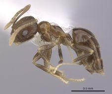 Image of <i>Brachymyrmex santschii</i> Menozzi 1927