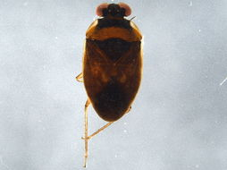 Image of velvety shore bugs