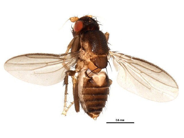 Image of Archiceroptera