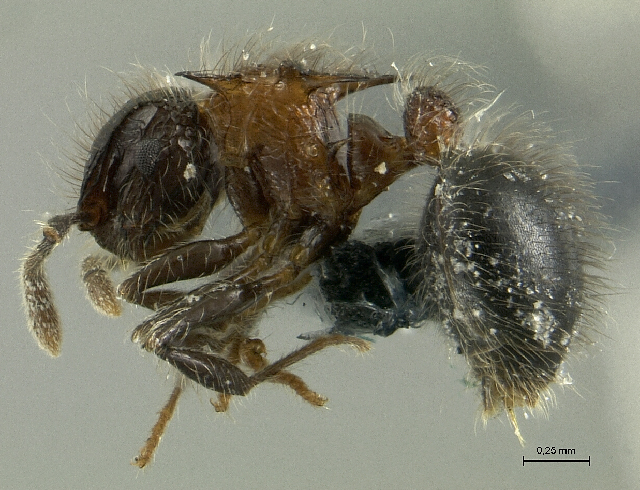 Image of Meranoplus