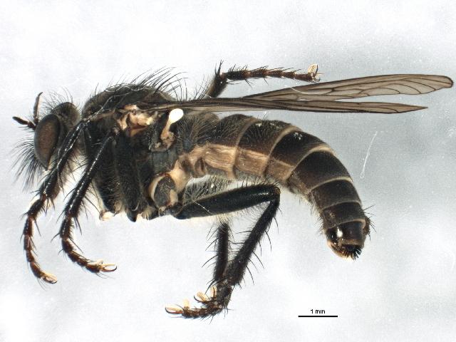 Image of <i>Lasiopogon cinctus</i> (Fabricius 1781)